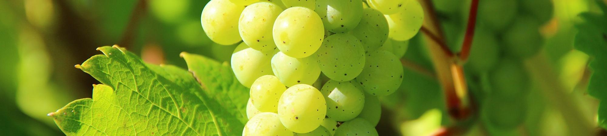 7 Grüne Veltliner aus 7 verschiedenen Weinbaugebieten Österreichs